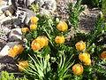 Leucospermum patersonii 1.JPG