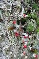 Lichen Cladonia - img 02540.jpg