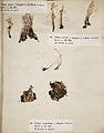 Lichenes Helvetici III IV 1842 007.jpg