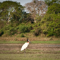 Light-jabiru.jpg