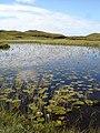 Lilies on Loch an t-Sabhail-Mhoine - geograph.org.uk - 40145.jpg