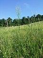 Linaria genistifolia (subsp. genistifolia) sl35.jpg