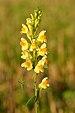 Linaria vulgaris - harilik käokannus Valingu.jpg