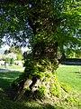 Linde auf dem Friedhof (Ostheim) 12.JPG