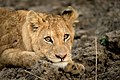Lion (132729757).jpeg