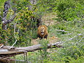 Lion (Panthera leo) (12011996573).jpg
