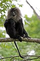 Lion Tailed Macaque (26758661582).jpg