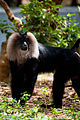Lion Tailed Macaque in Zoo.jpg