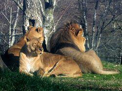 Hur stor är en lejon penis rem på lesbiska berättelser