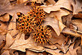 Liquidambar fruits, Shelby Farms.jpg