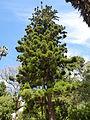 Lisbon botanical garden 23-Araucaria cunninghamii.JPG