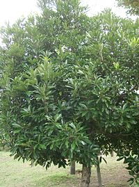 Lithocarpus edulis3