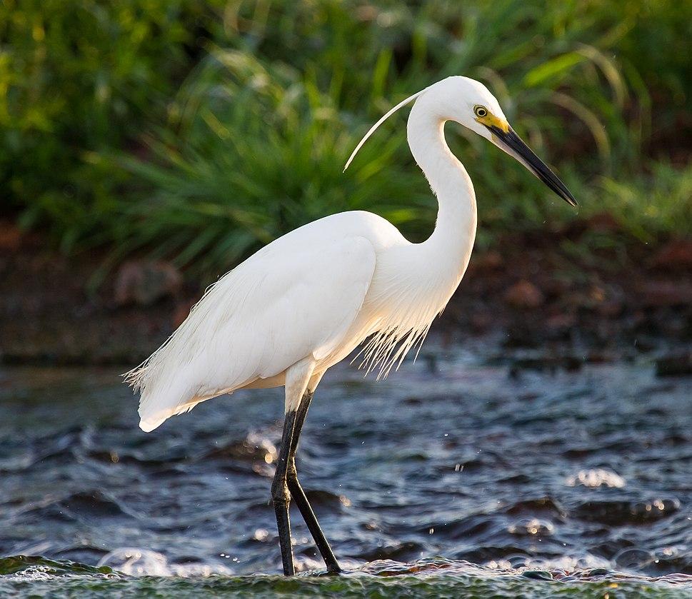 Little Egret.6