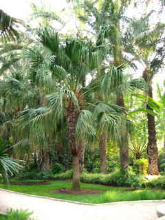 <i>Livistona</i> genus of plants