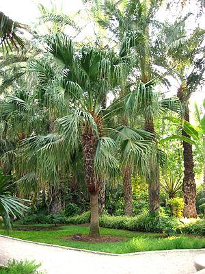 Livistona chinensis - Image: Livistona chinensis