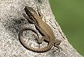 Lizard - Kertenkele 03.jpg