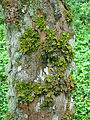 Lobaria pulmonaria on Acer pseudoplatanus.jpg