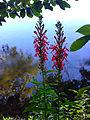 Lobelia cardinalis - Red Cardinal Flower.jpg
