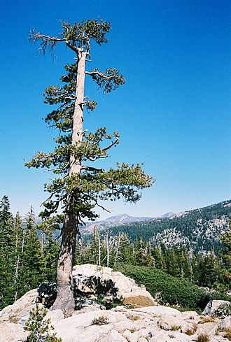 Sierra Nevada subalpine zone - Lodgepole pine growing on granite outcrop.