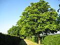 London Colney, Avenue of horse chestnut trees - geograph.org.uk - 1386395.jpg
