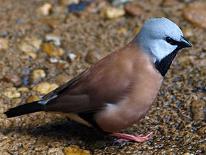 Long-tailed Finch - National Aquarium, Baltimore - April 5, 2011.jpg