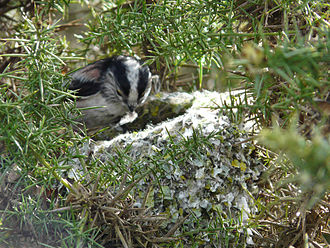 Structures built by animals - A long-tailed tit adds a feather to its nest.