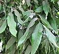Longan (Dimocarpus longan) Tree leaves.jpg