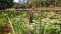 Lotus Bloom.jpg