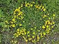 Lotus corniculatus Komonica zwyczajna 2020-05-31 01.jpg