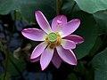 Lotus in beihai park2020.jpg