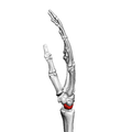 Lunate bone (left hand) 03 ulnar view.png