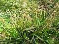 Luzula sylvatica in natural setting.JPG