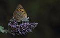 Lycaena phlaeas - Beneklibakırgüzeli.jpg
