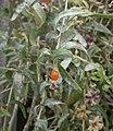 Lycium barbarum RHu fruit.JPG