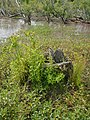 Lycopus europaeus L. (AM AK298054).jpg