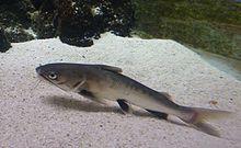 Tete sea catfish - Wikipedia, the free encyclopedia