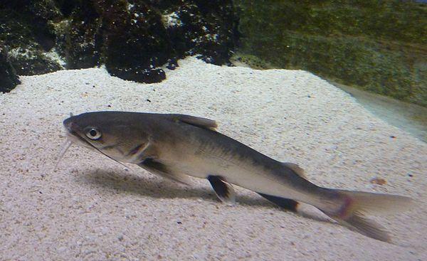 sea catfish the tete sea catfish ariopsis seemanni or colombian shark ...