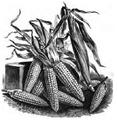 Maïs sucré Vilmorin-Andrieux 1883.png