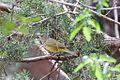 MacGillivray's Warbler (female) - Silver Creek - Portal - AZ - 2015-08-27at11-32-2713 (21637720145).jpg