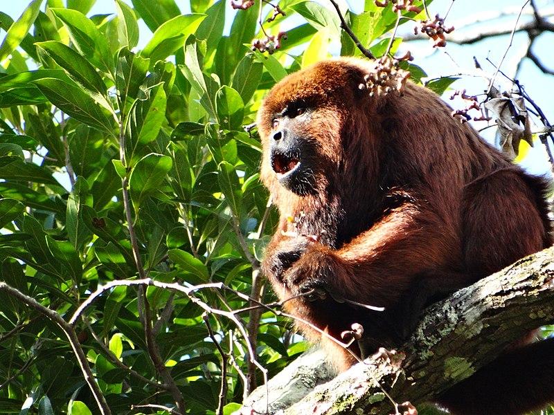 Os macacos são inocentes, os mosquitos não. (Foto: Davi Santana CC BY-SA)