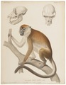Macacus cynomolgus - 1841-1852 - Print - Iconographia Zoologica - Special Collections University of Amsterdam - UBA01 IZ20000017.tif