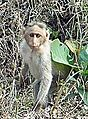 Macaque (réserve naturelle, Karnataka, Inde) (13938466840).jpg