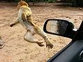 Macaque berbère en vol (10891138815).jpg