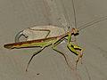 Madagascan Marbled Mantis (Polyspilota aeruginosa) (13924050322).jpg