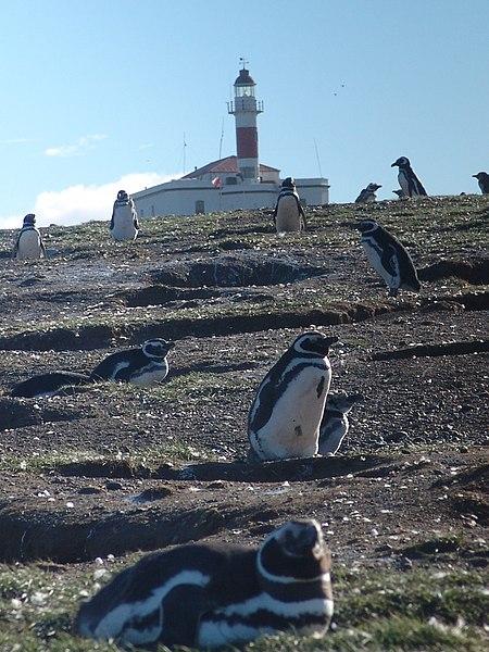 File:Magellanic Penguins, Isla Magdalena.jpg