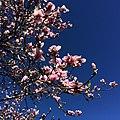 Magnolia (16768825599).jpg