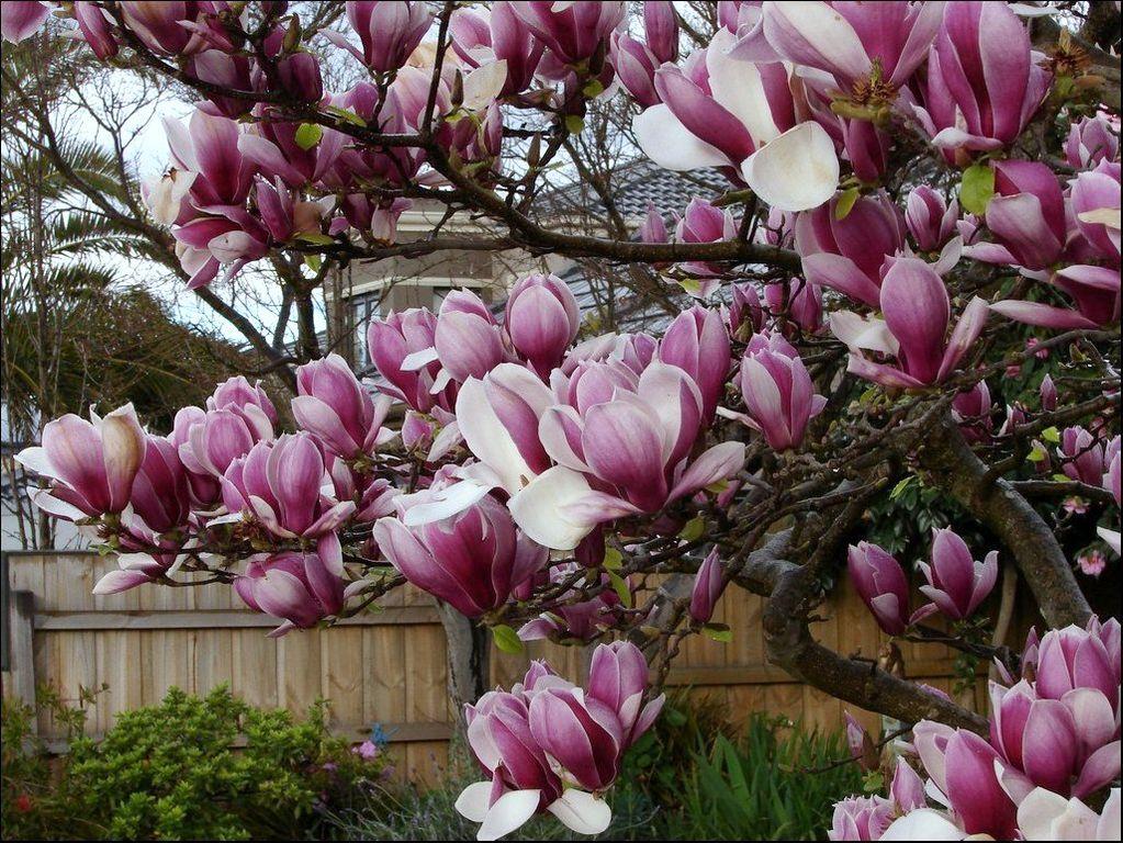 file magnolia soulangeana rustica rubra 3870103853 jpg. Black Bedroom Furniture Sets. Home Design Ideas