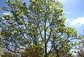 Magnolia denudata 13zz.jpg