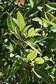 Magnolia figo001.JPG