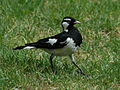Magpie-lark RWD.jpg